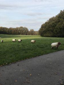Schafherde im Park nahe meines Wohnhauses